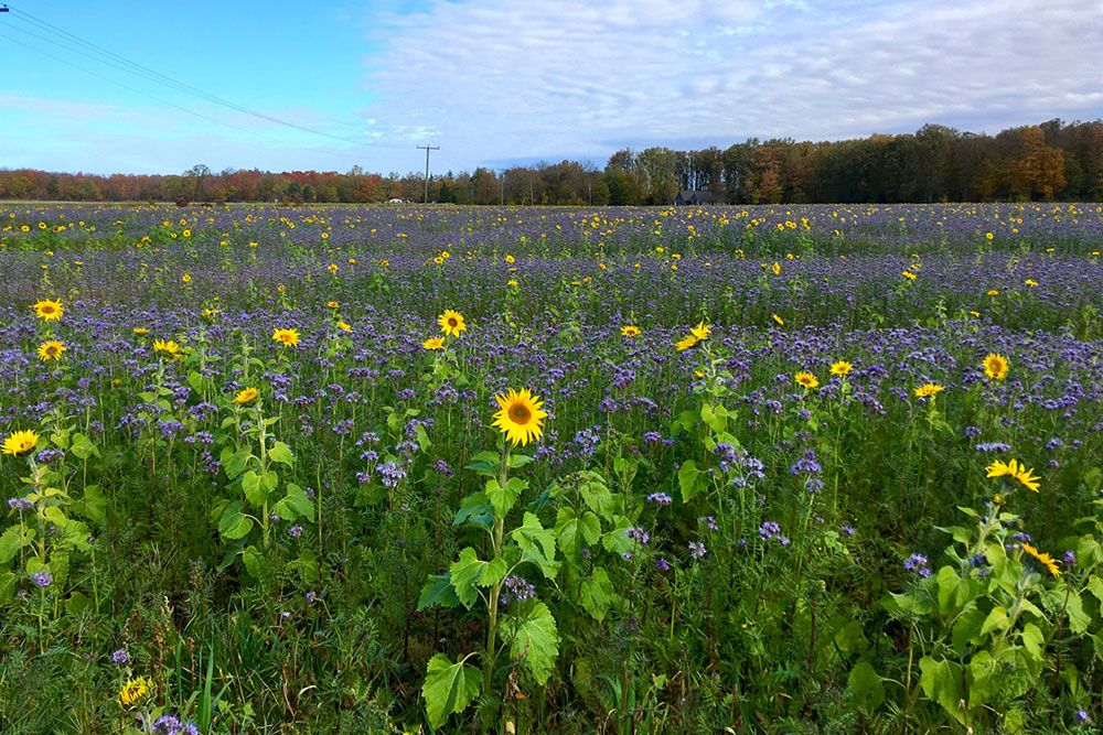 Colourful cover crop photo, by Nathan Schoelier, at GerardCornelisFarms Inc.